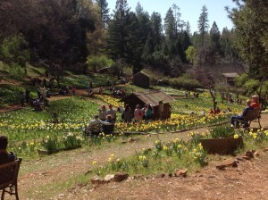 Daffodil Hill, Volcano CA